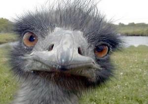 avestruzn